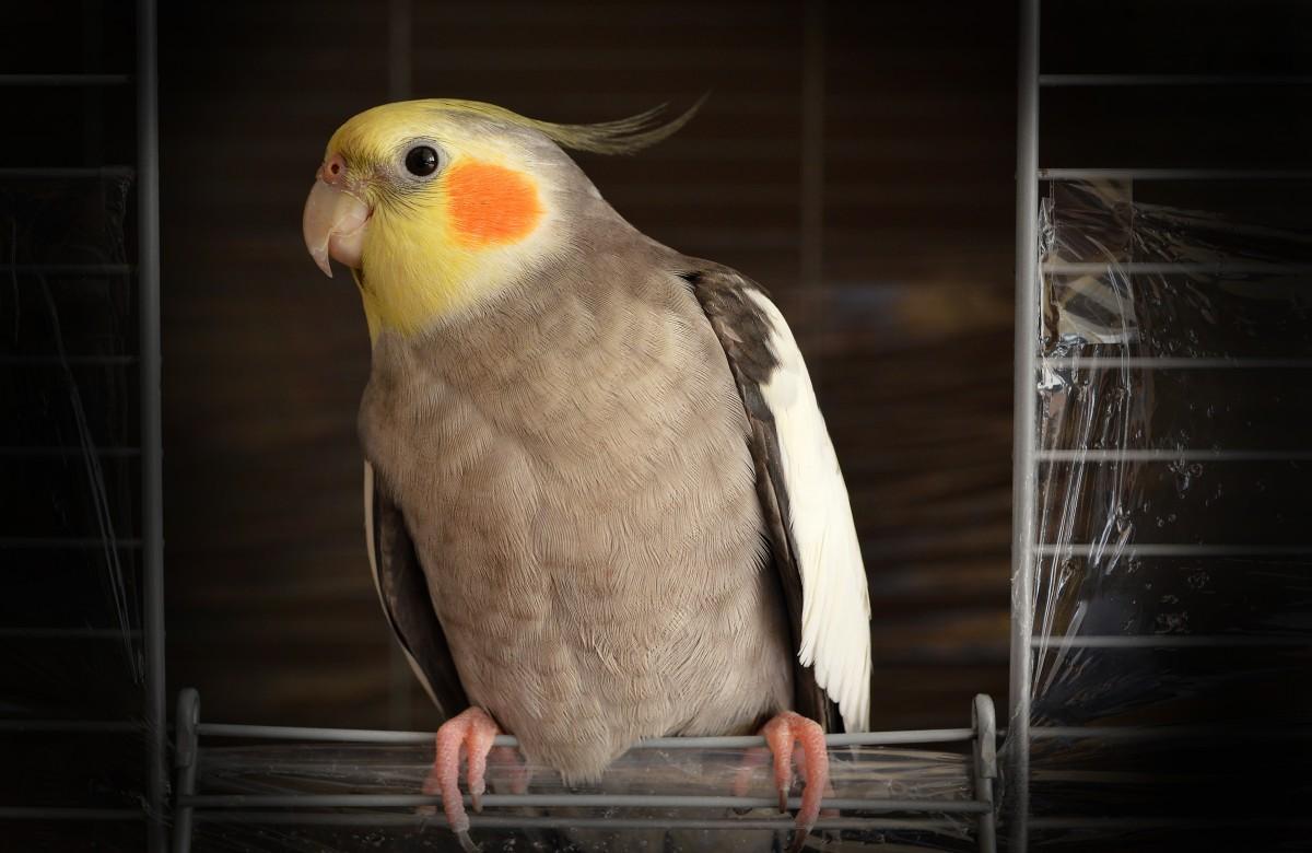 oiseau-domestique