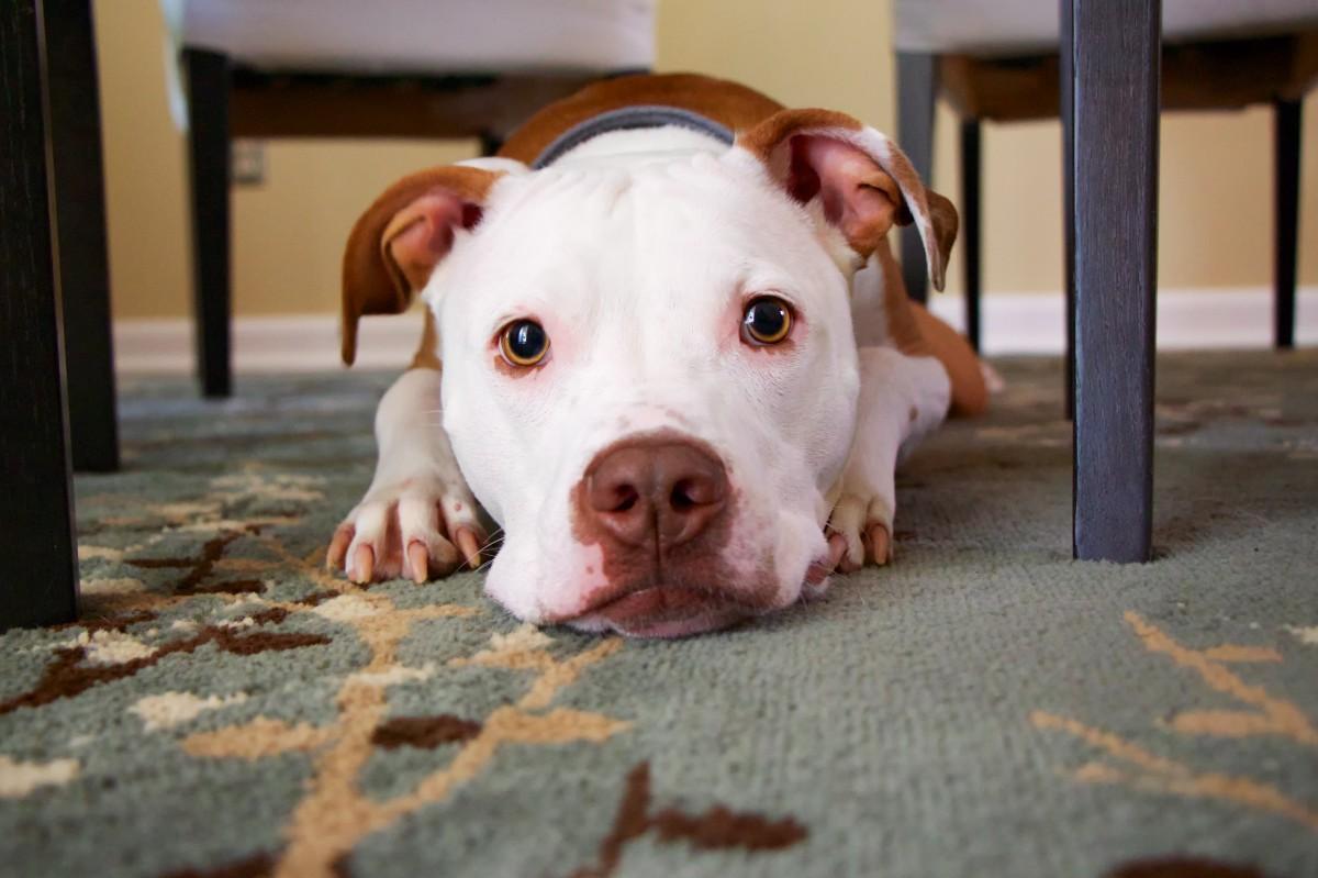 vaccin-chien